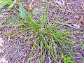 Carex panicea Habitus 2011-6-25 SierraMadrona.jpg