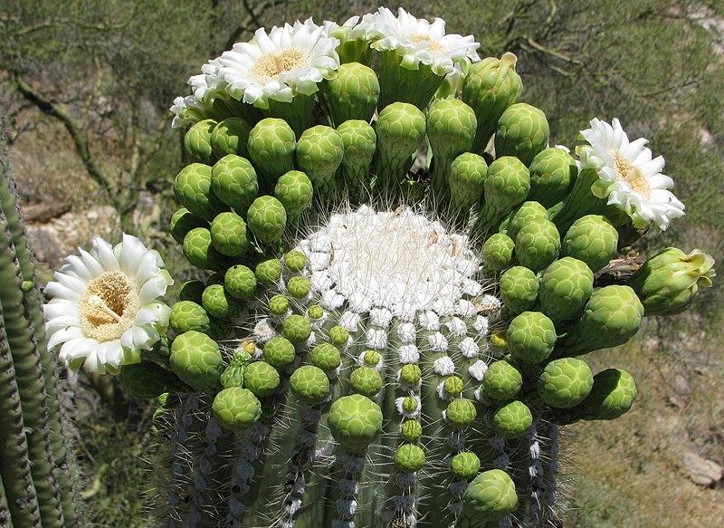Carnegiea gigantea (3).jpg