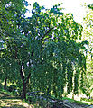 Carpinus betulus Prague 2013 1.jpg