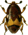 Carpophilus hemipterus Jacobson.png