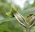 Carya myristiciformis female flower.jpg
