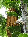 Caryota rumphiana - Fishtale Palm P1170559.JPG
