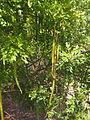 Cassia brewsteri fruit and foliage.jpg
