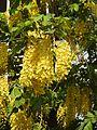 Cassia fistula flowers by Dr. Raju Kasambe DSCN4427 04.jpg