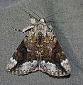 Catocala micronympha – Little Nymph Underwing Moth (another form, Paul Dennehy ID) (14445774732).jpg