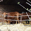 Cattle at Salters Park Farm, near Bobbington, Staffordshire - geograph.org.uk - 367811.jpg
