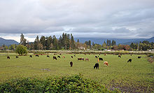 About 50 cattle are grazing in a green field under a cloudy sky. Buildings and trees are visible in the middle distance and beyond them hills or mountains.