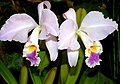 Cattleya mendelii Orchi 2012-09-14 020.jpg