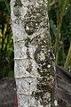 Cecropia obtusifolia 35zz.jpg