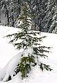 Cedrus libani brevifolia2.jpg
