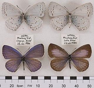 <i>Celastrina huegeli</i> species of insect