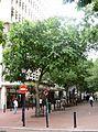 Celtis africana - Cape Town street 6.JPG