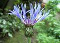 Centaurea montana2.jpg