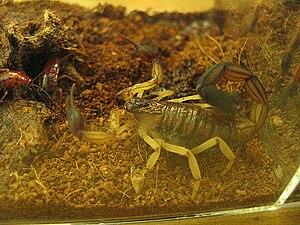 Centruroides bicolor - Centruroides bicolor in captivity