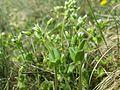 Cerastium semidecandrum sl7.jpg