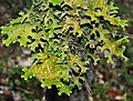 Cetraria islandica Iceland Moss ისლანდიური ხავსი.JPG