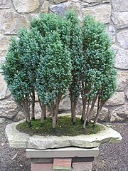 Chamaecyparis lawsoniana-Bonsai.jpg