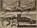 Chameleons and weasel from Izmir area - Ruyn Cornelis De - 1714.jpg