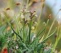 Chamorchis alpina 230705b.jpg