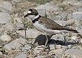 Charadrius dubius - Little ringed plover 04.jpg