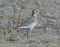 Charadrius montanus, Carrizo Plain, San Luis Obispo, California 2.jpg