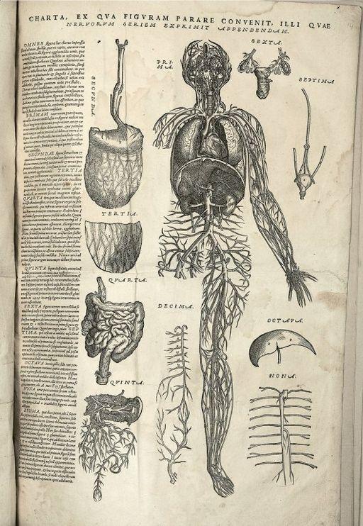 Charta ex qva figvram parare convenit, illi qvae nervorvm seriem exprimit appendendam, 1543.