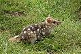 Chat marsupial tacheté 20140125-5791.jpg