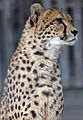 Cheetah 2 (5017732831).jpg