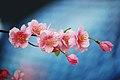 Cherry Blossom (2942368143).jpg