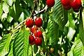 Cherry appetite - Pofta de cirese - panoramio.jpg
