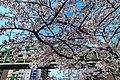 Cherry blossoms near Shohei Bridge & Matsuzumi-chō Overpass (2017-04-06 03.42.58 by yagi-s).jpg