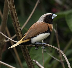 Chestnut-breasted Munia samcem08.JPG