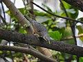 Chestnut-tailed starling 06.jpg
