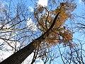 Chestnut Oak (31149572311).jpg