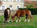 Chevaux trait breton Creyssac (6).JPG