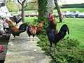 Chickens at Calbourne Watermill.jpg