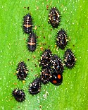 Larvae, pupae, and adult cactus lady beetles