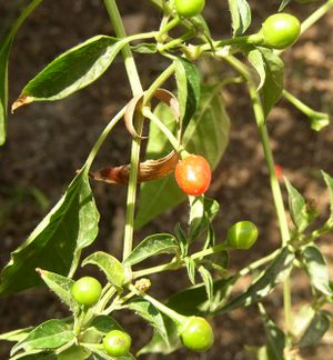 Culture of Guatemala - Chiltepe, a common pepper used on some Guatemalan dishes.