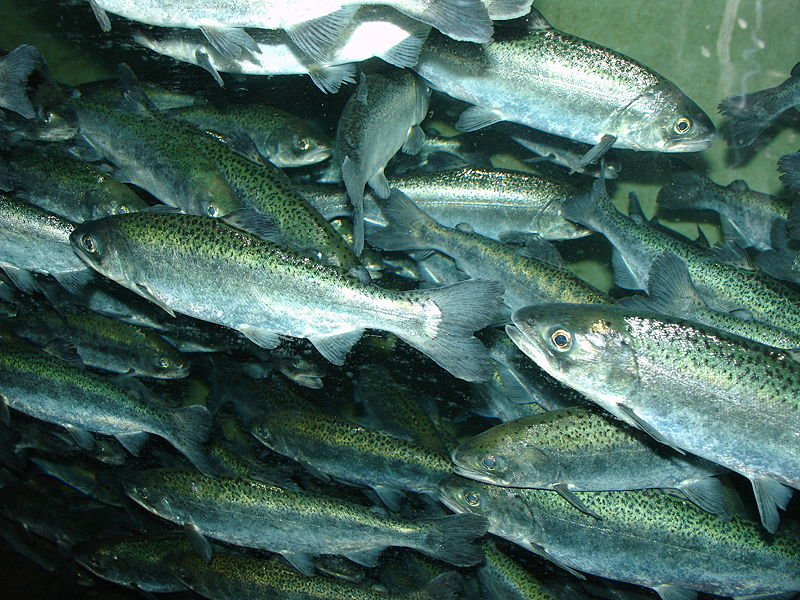 File:Chinook salmon, Oncorhynchus tshawytscha.jpg