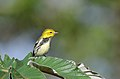 Chipe Dorso Verde, Black Throated Green Warbler, Dendroica virens (11916165854).jpg