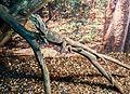 ChlamydosaurusKingii.jpg