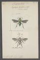 Chrysantheda - Print - Iconographia Zoologica - Special Collections University of Amsterdam - UBAINV0274 045 08 0039.tif