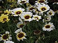 Chrysanthemum from Lalbagh flower show Aug 2013 8328.JPG