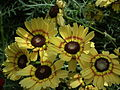 Chrysanthemum from Lalbagh flower show Aug 2013 8340.JPG
