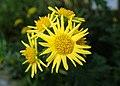 Chrysanthemum indicum kz02.jpg
