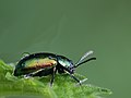 Chrysolina fastuosa (Chrysomelidae) - with natural dew (11045322943).jpg
