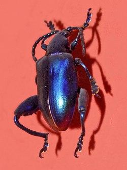 Chrysomelidae - Sagra femorata.jpg