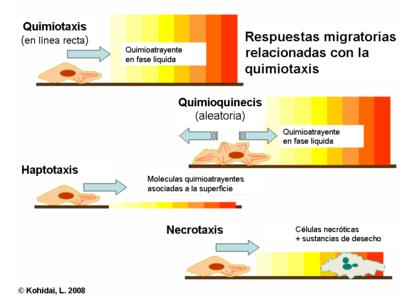 celula procariota y eucariota. de las células eucariotas