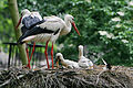 Ciconia ciconia -Artis Zoo, Netherlands -parents and chicks-8a.jpg