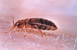 Cimex lectularies, bed bug